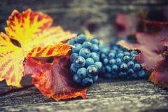 Rolniczy żniwo przy wsią z dojrzałymi winogronami i liśćmi Obrazy Royalty Free