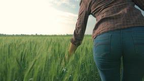 Rolniczy biznes, ?e?ska r?ka dotyka zielone ro?liny zamkni?te w g?r? dalej, ?redniorolny dziewczyny odprowadzenie w?r?d j?czmienn zbiory wideo