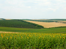 Rolniczy krajobraz wheatfield, słonecznik i ogródy -, Zdjęcie Royalty Free
