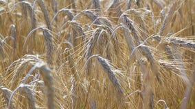 Rolniczy pole złoci zboża, ucho kukurudza na którym r up zboża zdjęcia stock