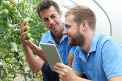 Rolniczy pracownicy Sprawdza Pomidorowe rośliny Używać Cyfrowej pastylkę zdjęcie stock
