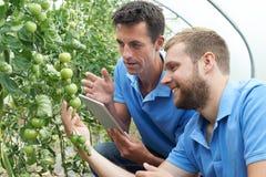 Rolniczy pracownicy Sprawdza Pomidorowe rośliny Używać Cyfrowej pastylkę zdjęcia royalty free