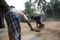 Rolniczy pracownicy suszy ryż po żniwa w Kumrokhali, Ind obrazy stock