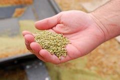 rolników ręki soczewicy zdjęcia royalty free