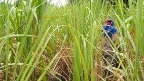 Rolnik chodzi though trzcin cukrowa uprawy zbiory