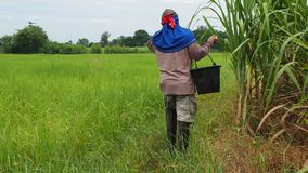 Rolnik chodzi z wiadrem użyźniacz zbiory wideo