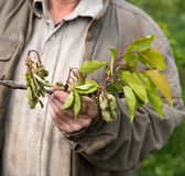 Rolnik egzamininuje czereśniowych drzewa Fotografia Stock
