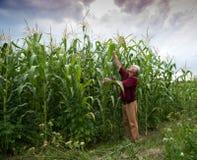 Rolnik egzamininuje kukurydzane rośliny zdjęcie royalty free