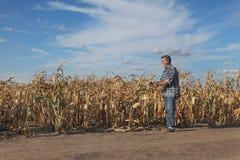 Rolnik egzamininuje kukurydzane rośliny w polu Obrazy Royalty Free