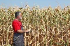 Rolnik egzamininuje kukurydzanego pole Zdjęcie Royalty Free