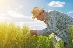 Rolnik egzamininuje pszenicznych ucho w polu Zdjęcia Royalty Free