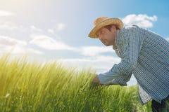 Rolnik egzamininuje pszenicznych ucho w polu Obrazy Royalty Free