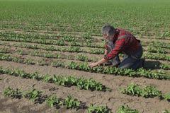 Rolnik egzamininuje soi bobowej rośliny Zdjęcie Stock