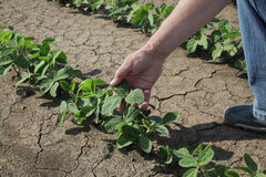 Rolnik egzamininuje soi bobowej rośliny Obrazy Stock