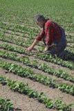 Rolnik egzamininuje soi bobowej rośliny Obraz Stock