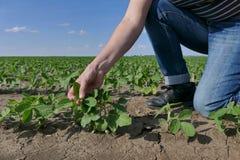 Rolnik egzamininuje soi bobowej rośliny Fotografia Stock