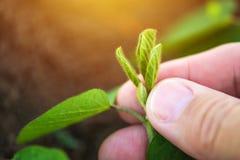 Rolnik egzamininuje soi rośliny rozwój zdjęcia royalty free