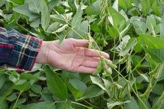 Rolnik egzamininuje soj bobowe rośliny pole, zbliżenie ręka Obrazy Royalty Free