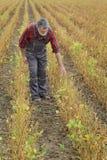 Rolnik egzamininuje soj bobowych rośliien pole Zdjęcie Royalty Free
