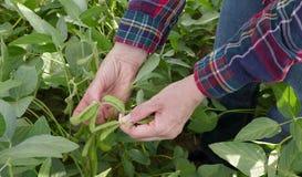 Rolnik egzamininuje soj bobowych rośliien pole Fotografia Stock