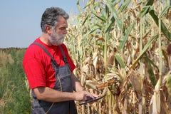 Rolnik egzamininuje uszkadzającego kukurydzanego pole Zdjęcie Stock