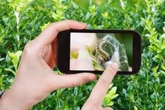 Rolnik fotografuje larwy insekt zaraza na boxtree zdjęcia stock