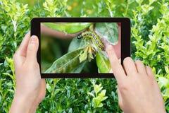 Rolnik fotografuje larwy insekt zaraza na boxwood zdjęcia stock