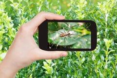 Rolnik fotografuje pająka na pajęczynie na boxwood Fotografia Stock