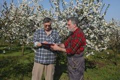 Rolnik i agronom w kwitnąć czereśniowego sad Zdjęcia Stock