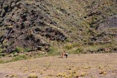 Rolnik i krowa w Boliwia obrazy stock