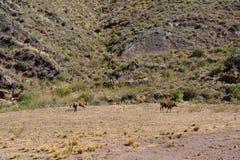 Rolnik i krowa w Boliwia obraz stock