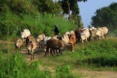 Rolnik i krowy na polach Obrazy Royalty Free
