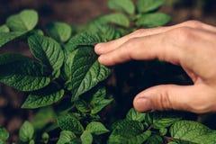 Rolnik kontroluje przyrosta kartoflane rośliny w jarzynowym ogródzie Fotografia Royalty Free