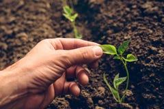 Rolnik kontroluje przyrosta pieprz rośliny w jarzynowym ogródzie Zdjęcie Stock