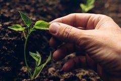 Rolnik kontroluje przyrosta pieprz rośliny w jarzynowym ogródzie Fotografia Stock