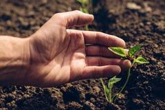 Rolnik kontroluje przyrosta pieprz rośliny w jarzynowym ogródzie Zdjęcia Royalty Free
