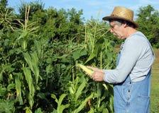 Rolnik kukurudzy uprawa obraz royalty free
