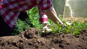 Rolnik kultywuje narastającego malinowego Bush Rolna praca w Pogodnej pogodzie zbiory