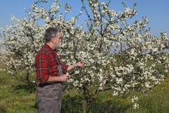 Rolnik lub agronom egzamininuje kwitnący czereśniowego sad Zdjęcie Royalty Free