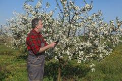 Rolnik lub agronom egzamininuje kwitnący czereśniowego sad Zdjęcia Royalty Free