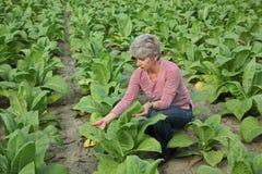 Rolnik lub agronom sprawdzamy tabacznego pole Fotografia Royalty Free