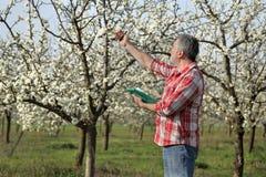 Rolnik lub agronom w kwitnąć śliwkowego sad Zdjęcie Royalty Free