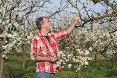 Rolnik lub agronom w kwitnąć śliwkowego sad Fotografia Stock