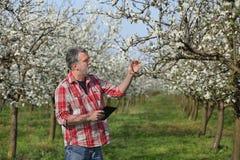 Rolnik lub agronom w kwitnąć śliwkowego sad Zdjęcia Stock