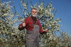 Rolnik lub agronom w kwitnąć śliwkowego sad Obraz Royalty Free