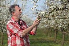 Rolnik lub agronom w kwitnącym śliwkowym sadzie Fotografia Stock