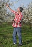 Rolnik lub agronom w kwitnącym śliwkowym sadzie Obraz Royalty Free
