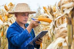 Rolnik lub biolożka sprawdzamy czeka, Analizujemy Surowego Kukurydzanego Cob lub Badamy obrazy royalty free