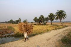 Rolnik niesie ryż od uprawia ziemię do domu Fotografia Royalty Free
