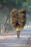Rolnik niesie ryż od uprawia ziemię do domu Obraz Stock